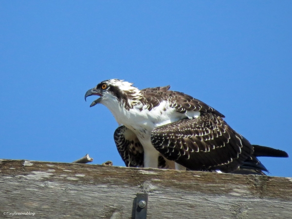 Osprey fledgling in her nest Sand Key Park Clearwater Florida