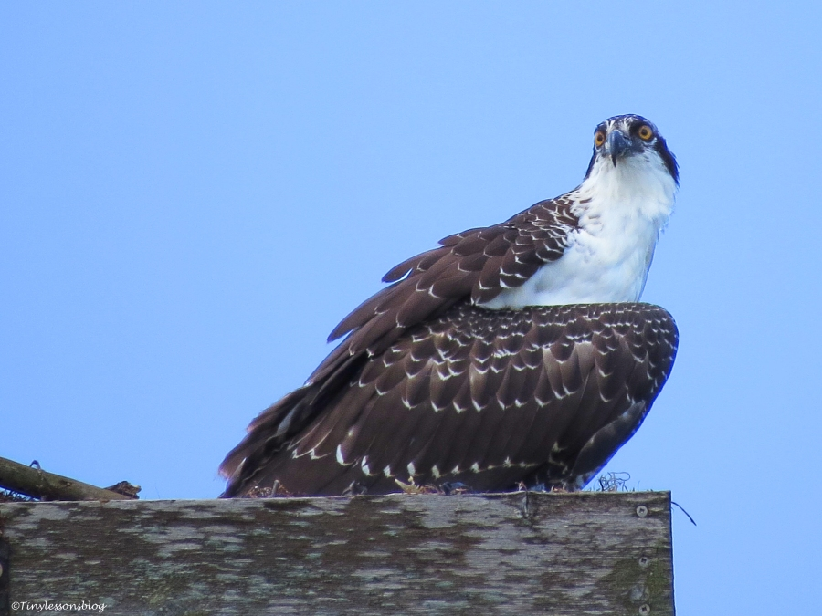 an osprey fledgling in the nest Sand Key Park Clearwater Florida