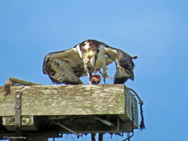 osprey fledgling eating in the nest Sand Key Park Clearwater Florida