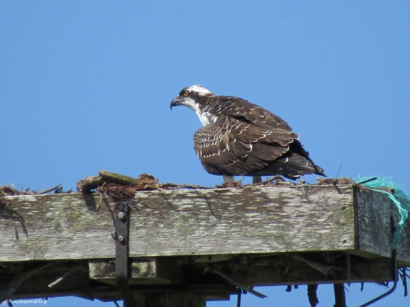 osprey chick in the nest Sand Key Park Clearwater Florida