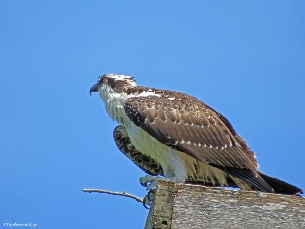 a wet juvenile osprey Sand Key Park Clearwater Florida