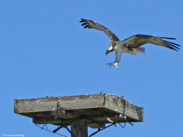 osprey chick lands in the nest Sand Key Park Clearwater Florida