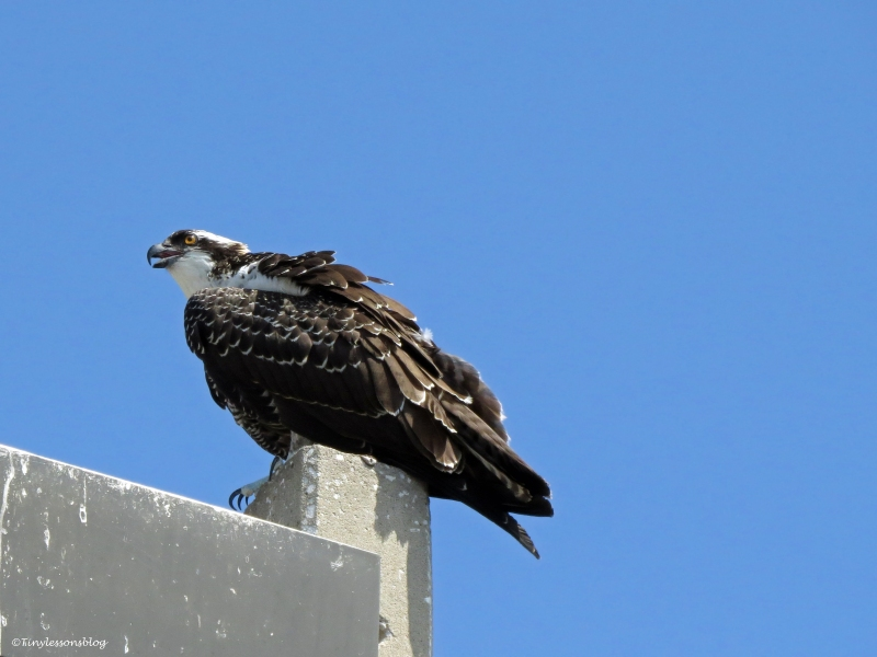 osprey chick perching on a lamp-post Sand Key Park Clearwater Florida