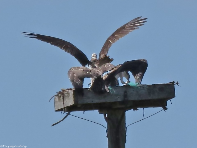 a scuffle ensues between the osprey chicks Sand Key Park Clearwater Florida