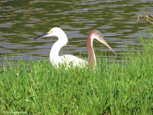 snowy egret and tricolored heron Sand Key Park Clearwater Florida