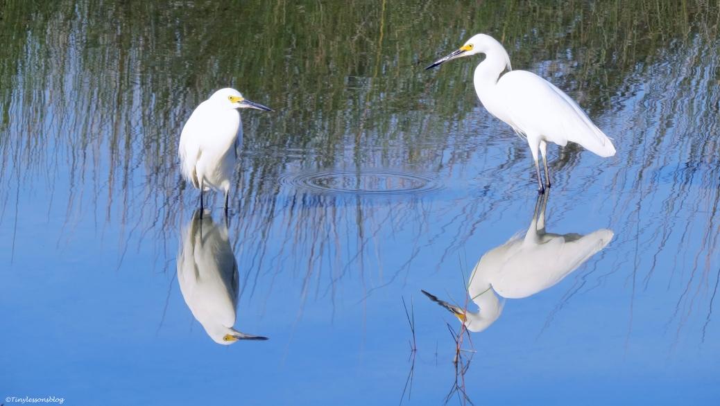 snowy egrets 16x9 UD12