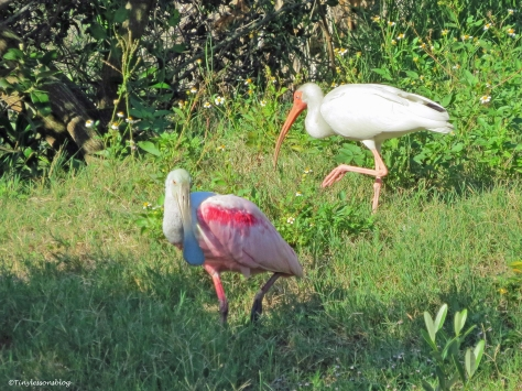 spoonbill and ibis Sand Key Park Clearwater Florida