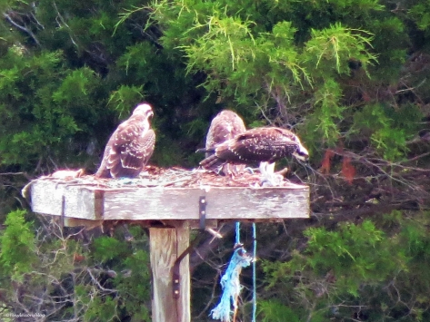 three ospey chicks in the nest Sand Key Park Clearwater Florida
