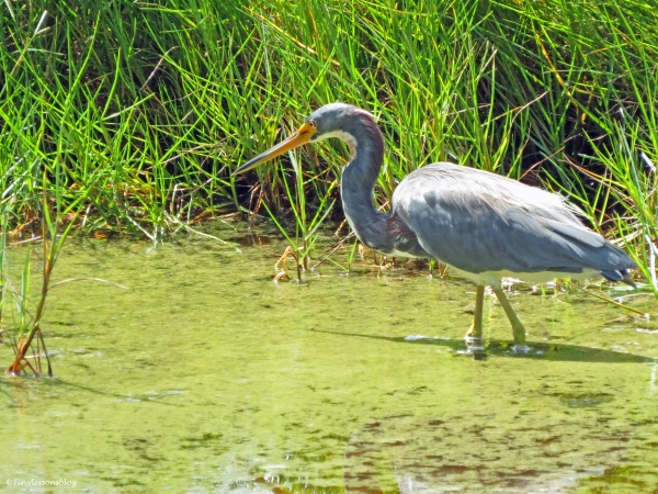 tri-colored heron hunting Sand Key Park Clearwater Florida
