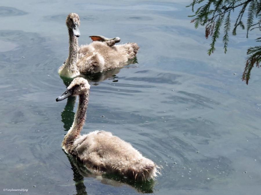 two juvenile swans orlando