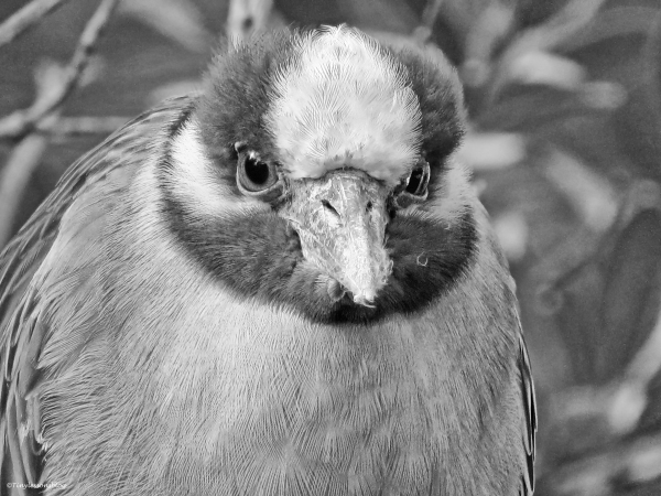yellowcrowned night heron portrait in monochrome
