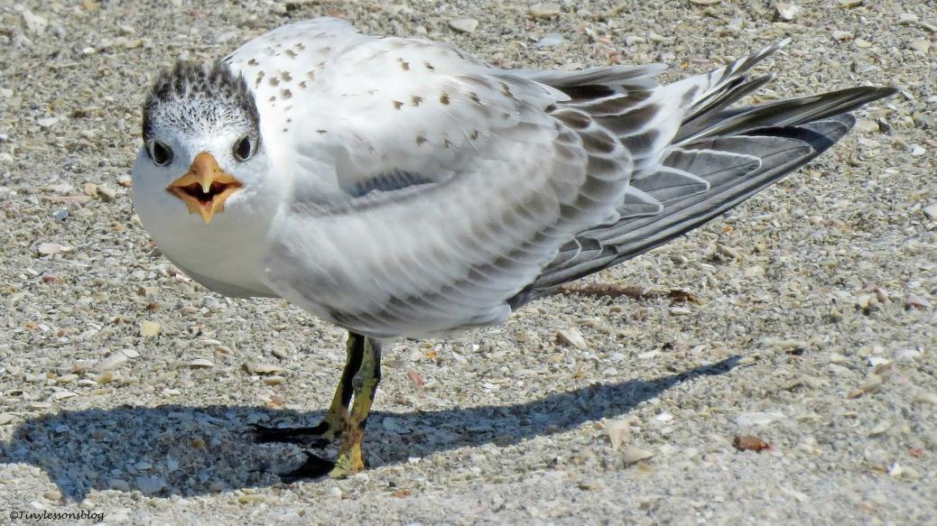 Baby Royal Tern UD16 16x9