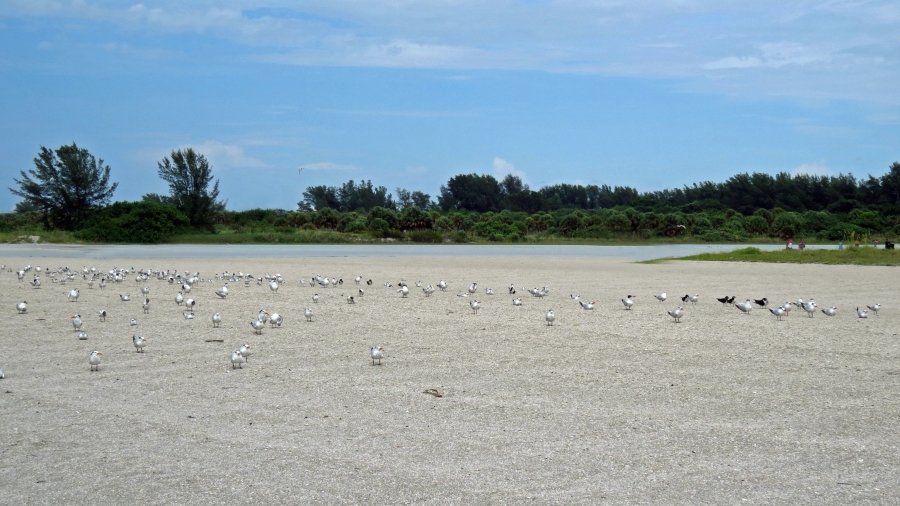 birds on sand key clearwater Florida