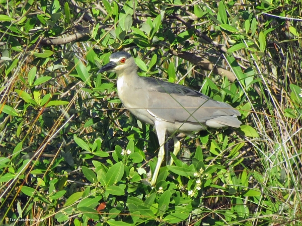 black crowned night heron Sand Key Park Clearwater Florida