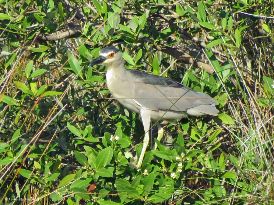 black crowned night heron Sand Key Park Clearwater Florida
