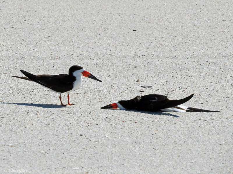 black skimmer sleeping on the beach sand key clearwater Florida