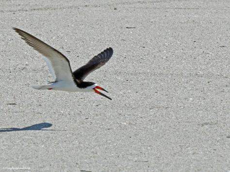 black skimmer sand key clearwater Florida