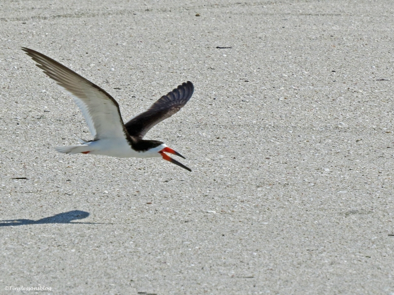 black skimmer sand key clearwater Florida