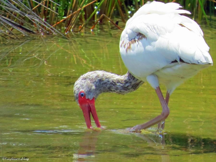 juvenile ibis sand key park clearwater florida