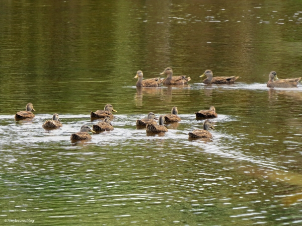 young Mottled Ducks Sand Key Park Clearwater Florida