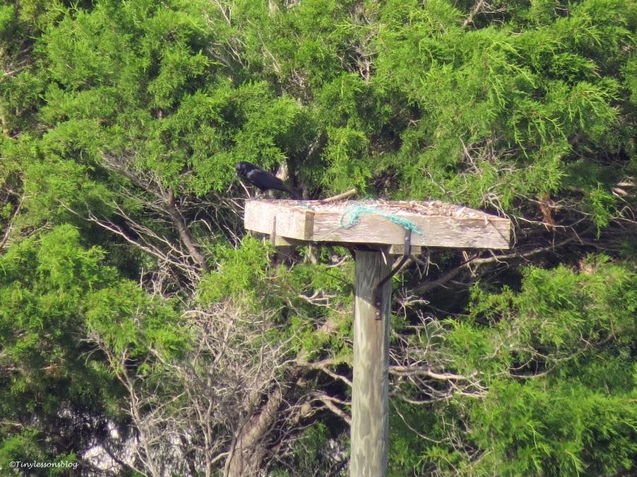 empty osprey nest Sand Key Clearwater Florida