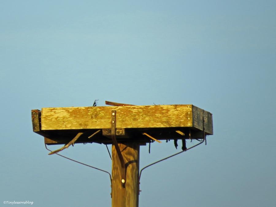empty osprey nest sand key park clearwater florida