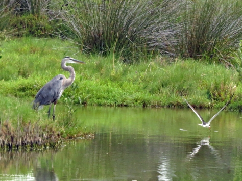 great blue heron and black skimmer Sand Key Clearwater Florida