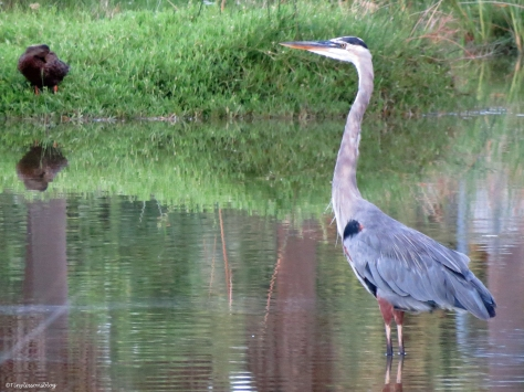 great blue heron at sunrise Sand Key Park Clearwater Florida