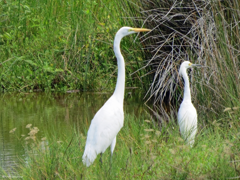 great egret and snowy egret Sand Key Park Clearwater Florida