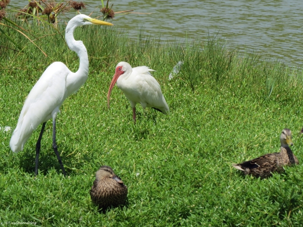 great egret ibis and mottled ducks Sand Key Clearwater Florida