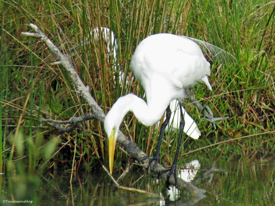 great egret looks for fish Sand Key Clearwater Florida
