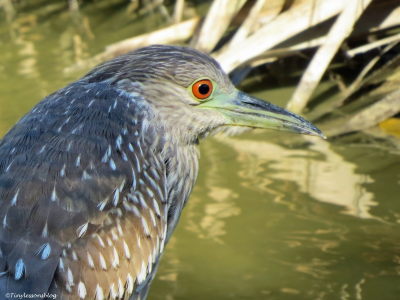 juvenile backcrowned night heron half and half