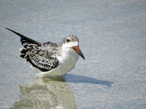 juvenile black skimmer sand key clearwater florida