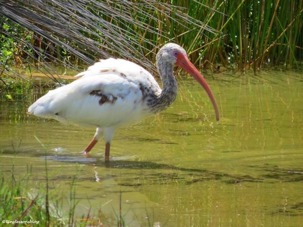 juvenile ibis Sand Key Clearwater Florida