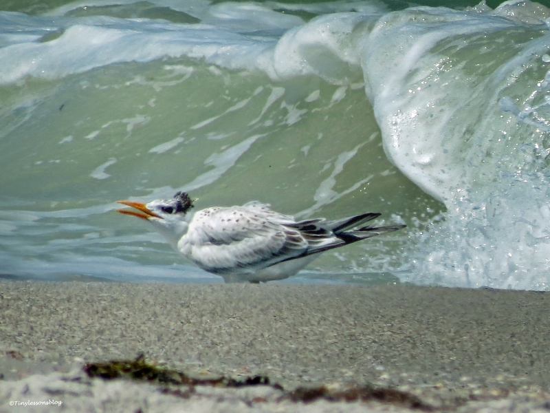 juvenile Royal Tern 2 UD 16