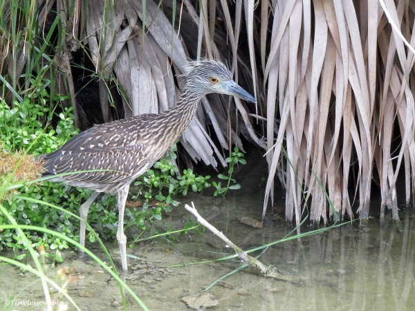 juvenile yellowcrowned night heron Sand Key Clearwater Florida