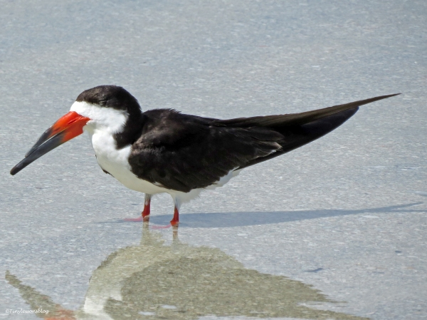 mama black skimmer sleeping sand key clearwater Florida