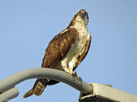 female osprey at sunset Sand Park Clearwater Florida
