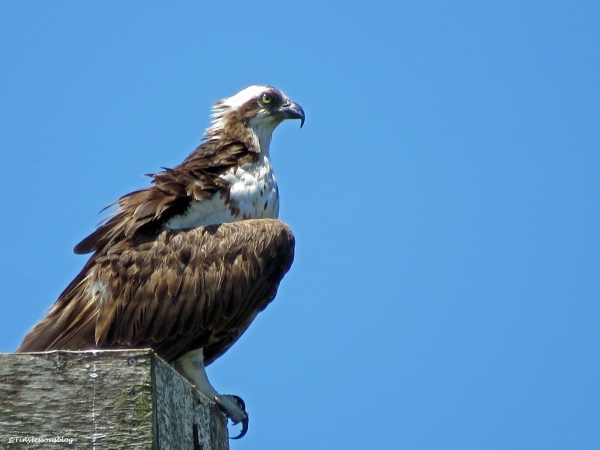 female osprey at the nest with full crop Sand Key Clearwater Florida