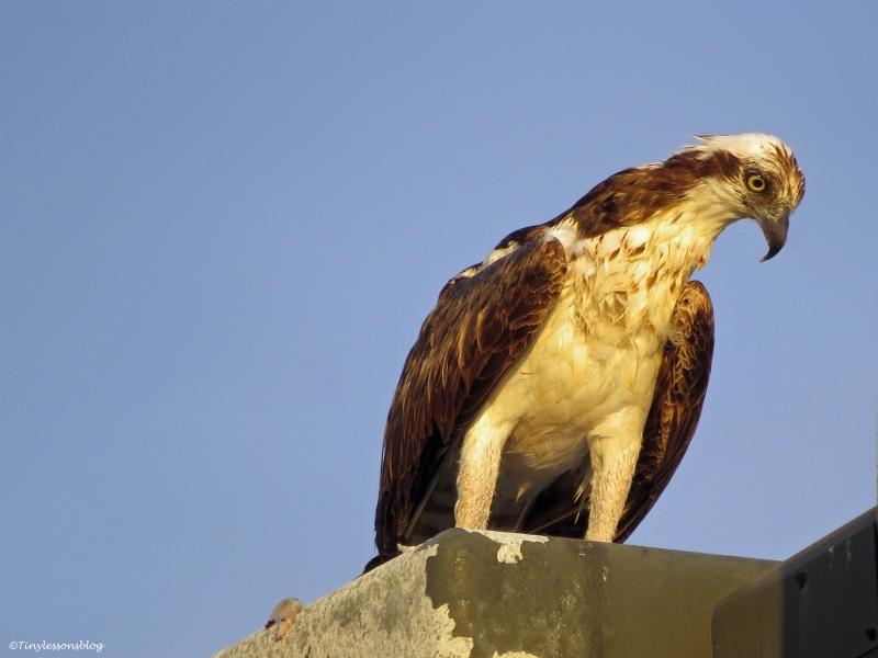 female osprey eats fish at sunrise sand key clearwater Florida