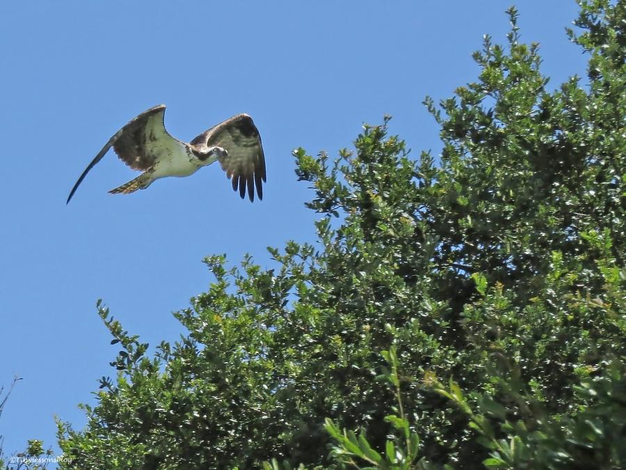 mama osprey flies after papa UD16