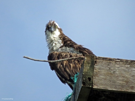 Female Osprey watches the nest Sand Key Park Clearwater Florida