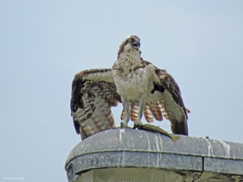 female osprey with a fish sand key clearwater Florida