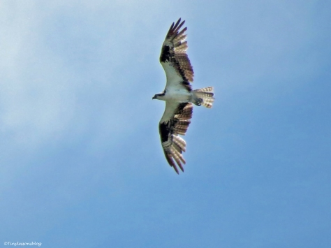 young osprey in flight Sand Key Park Clearwater Florida