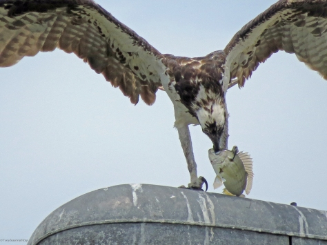 osprey with a fish sand key clearwater Florida