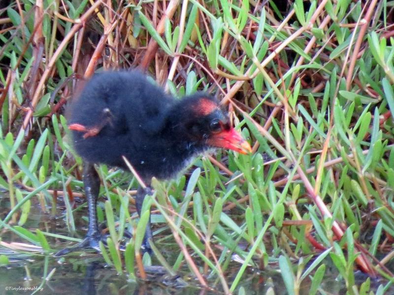 moorhen chick 2 UD16
