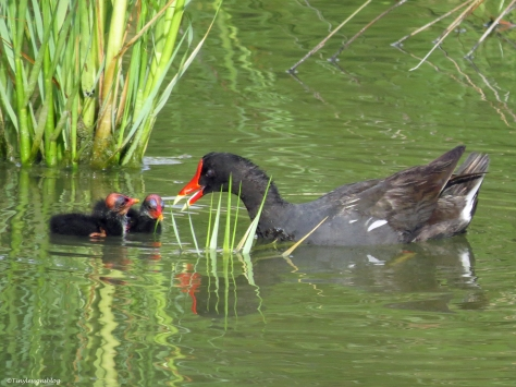 moorhen chicks and mom sand key park clearwater florida