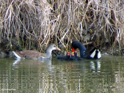 moorhen family with four chicks Sand Key Clearwater Florida