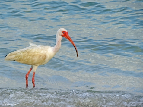 White ibis at sunset Sand Key Park Clearwater Florida