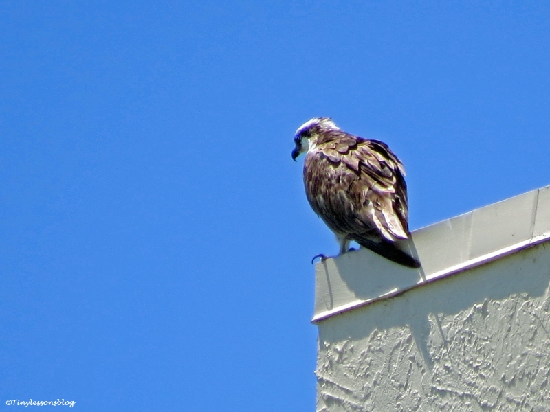male osprey scans for fish on a hotel roof Sand Key Clearwater Florida